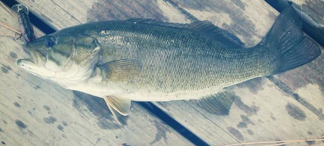 Another #smallmouth #bass #LongLake #Spokane #fishing