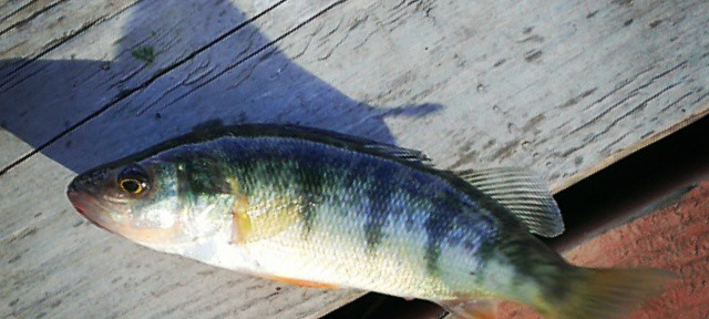 Just a wee #Perch on the last cast of the day, shook the hook hisself. #fishing #LongLake