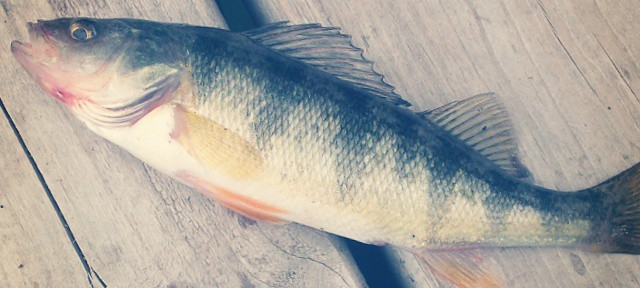 Perch bloodied hisself, had 2x size fish chasing it on the landing, never seen that. #fishing #Spokane #LongLake
