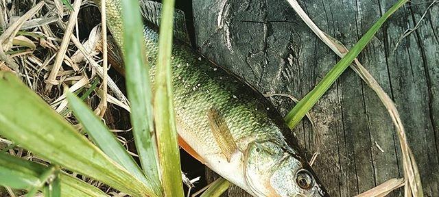 A small #perch #fishing #Spokane